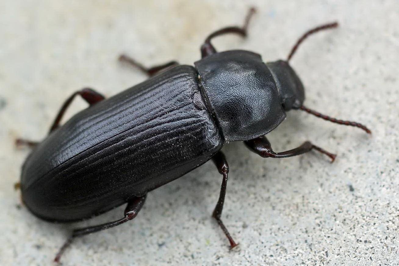 Маленькие коричневые жучки в квартире: насекомые на подоконнике, термобия домашняя, книжная и пыльная вошь